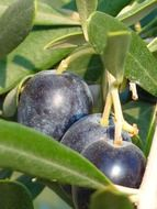 olives fruit olive tree oelfrucht