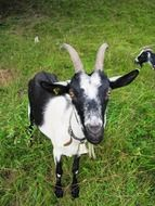 goat nature animal