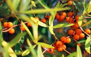 sea buckthorn fruits berries orange N3
