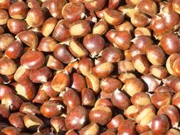 harvest of sweet chestnuts