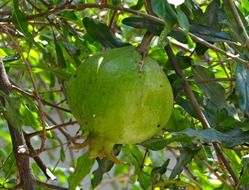 pomegranate trees fruits