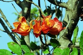 african tulip tree with flowers