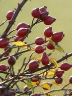 rosehip on a branch with yellow leaves