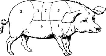 pig information drawing