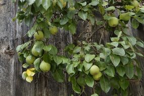 branch of green pears