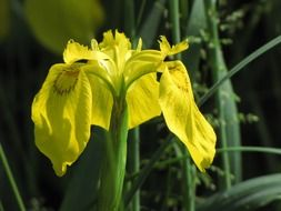 yellow iris among greenery