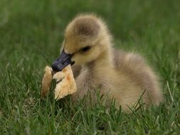 fluffy duckling with bread in its beak