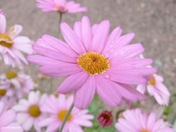 pink daisy field flower