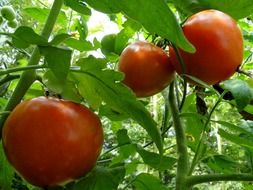 Red tomatoes are growing in the garden
