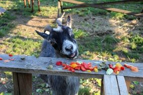 Goat eats fruit from a wooden bench