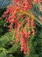 date palm fruit pome fruit red color