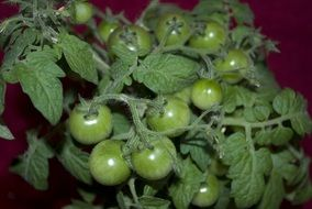 green tomatoes growing on the bush