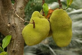 exotic prickly fruits