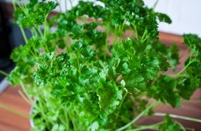 potted parsley