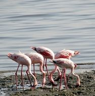 Group of pink flamingos near the water