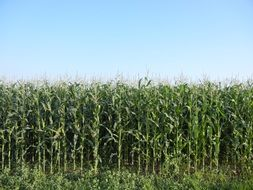 farmland with corn