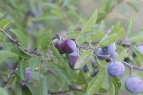 Blueberries on a branches