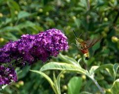 lilac and flying insect