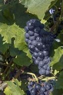 ripe blue grapes on grapevine
