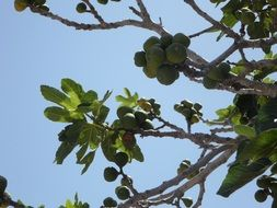 fruit green fig tree