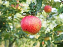 red frisch apple tree fruit healthy and vitamins