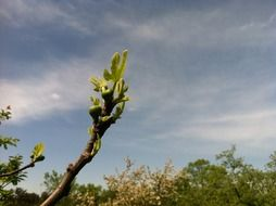 fig tree in nature at blue sky background with white clouds