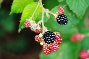 blackberries in a garden