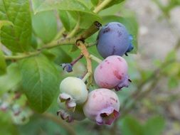 unripe blueberries on a bush close-up