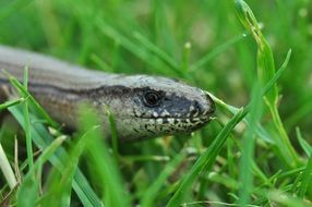 slow worm grey reptile in grass