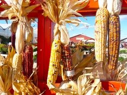 Harvest of corn in the farm in autumn