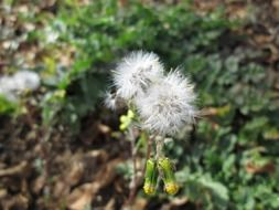 two fluffy dandelion in the forest