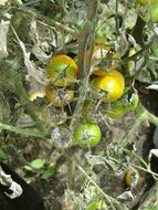 yellow-green tomatoes on a branch