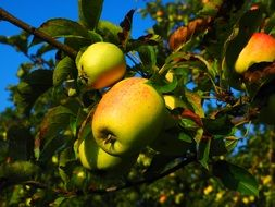 apple tree fruit frisch orchard
