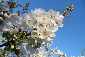 fruit trees with white flowers in the garden