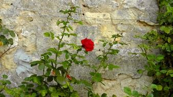 Red rose near the stone wall