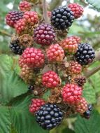 natural blackberries on the branch