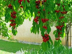 A lot of cherries grow on fruit tree