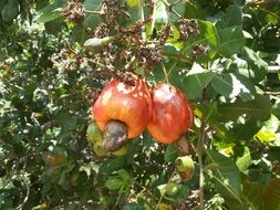 cashew nuts on the tree