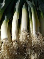 fresh leek vegetables