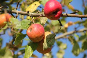 fresh and beautiful apple fruit tree