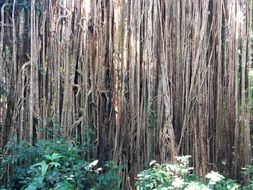 roots of ficus tree in tropical forest, australia