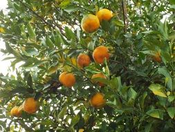 ripe tangerines on the tree