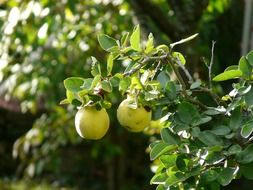 Quince on a bush