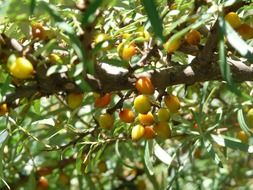 yellow and orange sea buckthorn berries on a tree