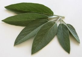 dark green sage leaves