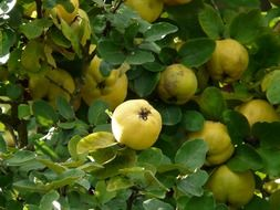 much fruits quince on a tree