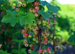 red currants ripening