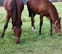 Brown horses on meadow