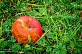 rotten apple on the grass