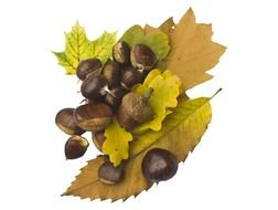 chestnuts and acorns lying on yellow leaves